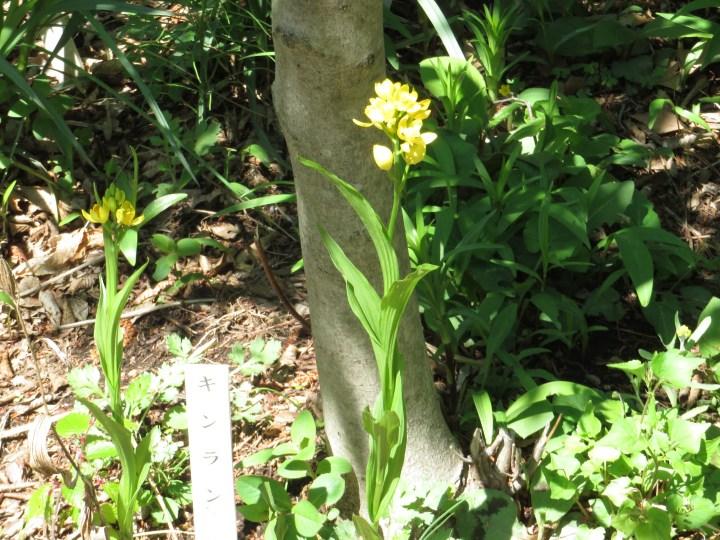 キンラン 花の様子