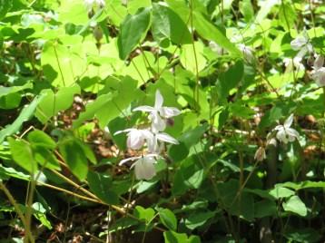 バイカイカリソウ 花の咲いている様子