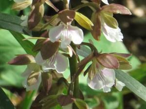 Calanthe Orchid / エビネラン