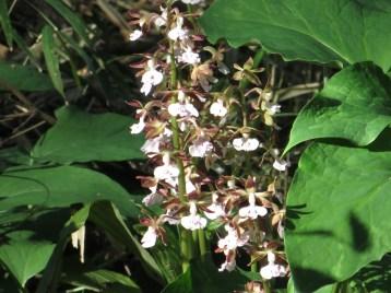 エビネラン 花の咲いている様子