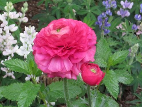 ラナンキュラス 花の姿