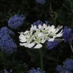オルレア 花の姿 横から