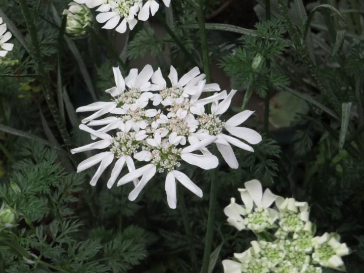 オルレア 花のアップ