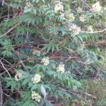 ニワトコの花の咲いている様子