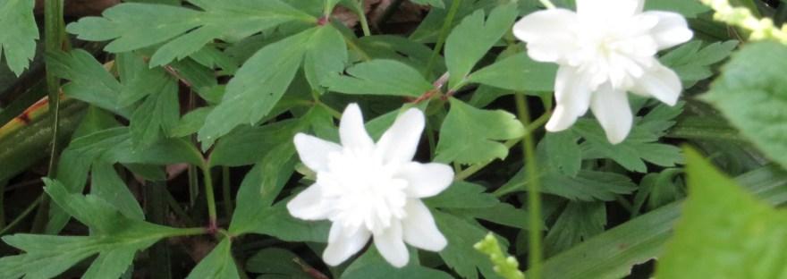 Anemone nikoensis/ イチリンソウ