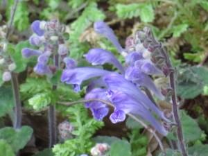 コバノタツナミ 花のアップ