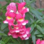 キンギョソウ ピンクと黄色の組み合わせ