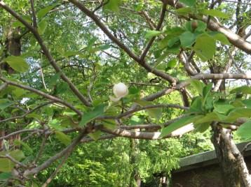 ウケザキオオヤマレンゲ 花の咲いている様子