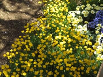 クリサンセマム・ムルチコーレ 花壇の様子