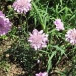 スカビオサ 花の姿