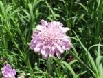 Pincushion flower/ スカビオサ