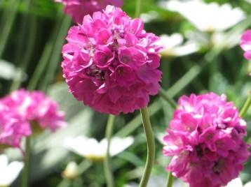 アルメリア 花のアップ