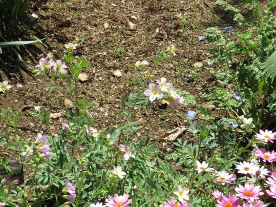 ポレモニウム 花の姿