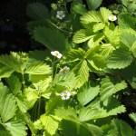 ワイルドストロベリー 花の様子