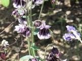 フウリンオダマキ 八重咲きの花