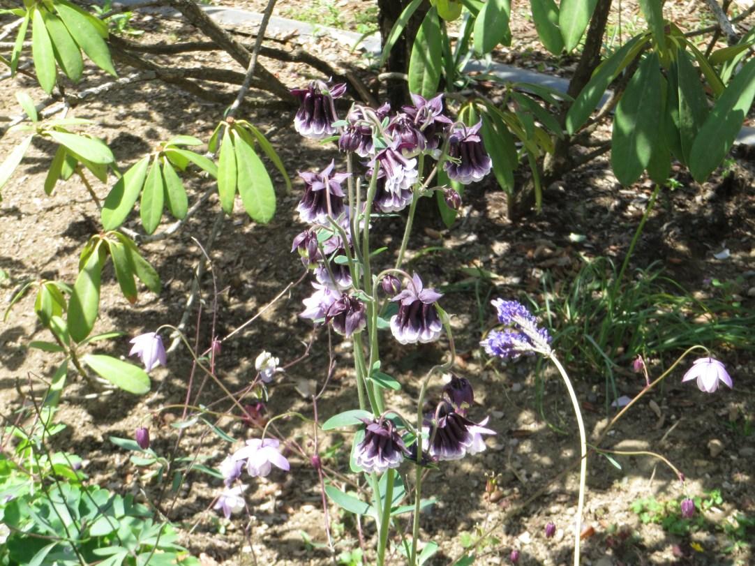 フウリンオダマキ 八重咲きの花の様子