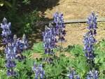 Blue lupin/ カサバルピナス