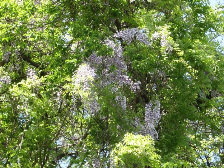 フジ 野生化した裏山の藤