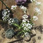 アリウム・コワニー 花の様子