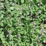 キャットミント (Nepeta × faassenii?) 花の咲いている様子