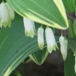 アマドコロ 花のアップ