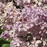 ライラック 花のアップ