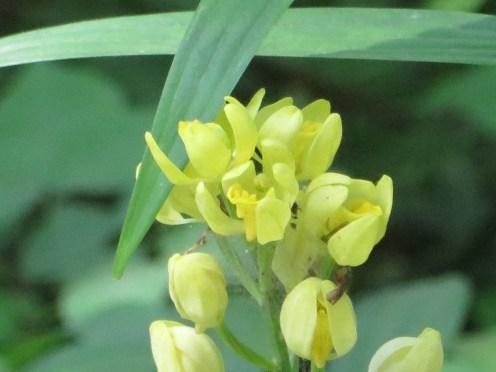 キンラン 花のアップ