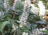 ジュウニヒトエ 花の様子
