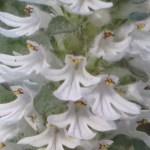 ジュウニヒトエ 花のアップ