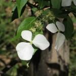 Flower of Hydrangea scandens/ ガクウツギ
