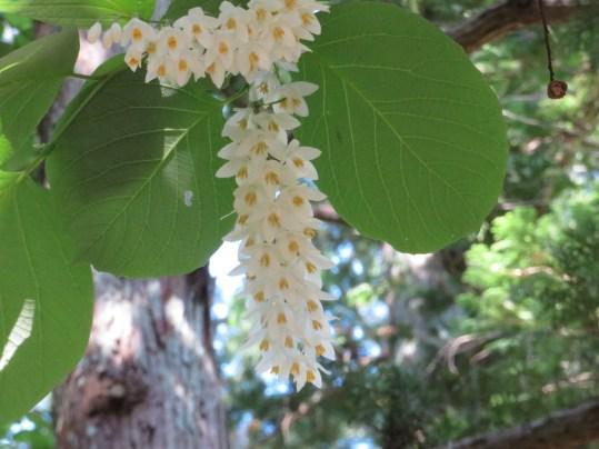 ハクウンボクの花の様子