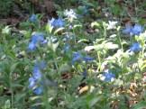 ホタルカズラ 花の様子