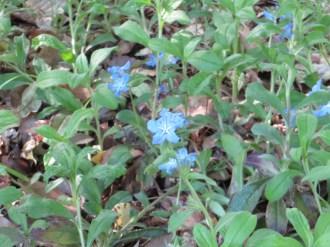 ホタルカズラ 花の姿