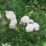 オオデマリ 花の姿