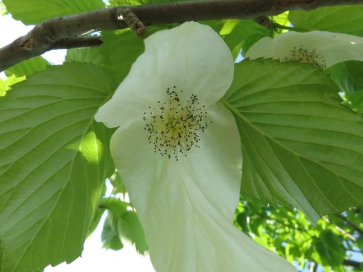 ハンカチノキ 花のアップ