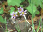 Annual Blue Eyed Grass / ニワゼキショウ