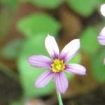 ニワゼキショウ 花のアップ
