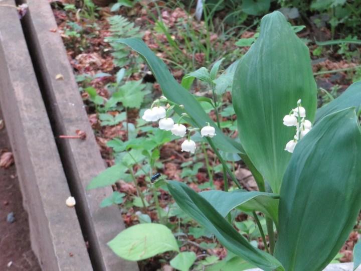 ドイツスズラン 花の全景