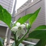 トウガラシ(シシトウ)の花 正面