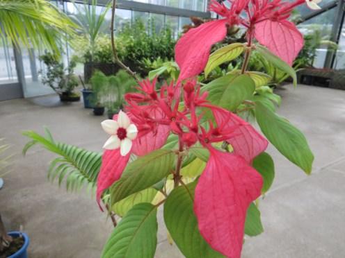 ヒゴロモコンロンカ 花の姿
