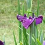 ハナショウブ 濃紫系の花 アップ