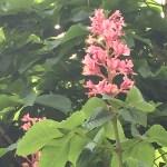 ベニバナトチノキ 花の様子