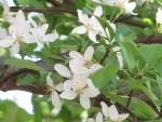Japanese sapphireberry / ハイノキ