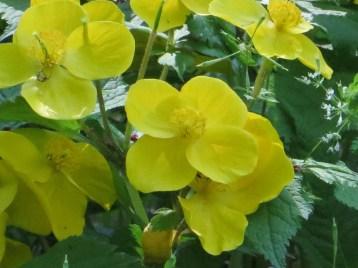 ヤマブキソウ 花のアップ