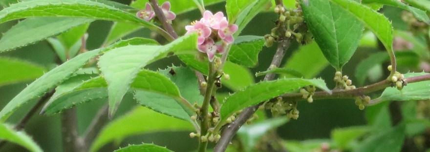 Japanese winterberry/ ウメモドキ
