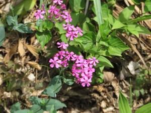 ムシトリナデシコ 花の様子