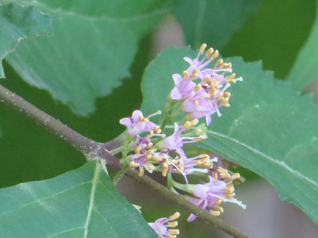 Japanese Beautyberry/ ムラサキシキブ