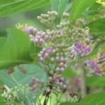 ムラサキシキブ 咲き始め