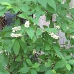 コバノズイナ 花の咲いている植物の様子