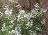 コリアンダー 花の様子